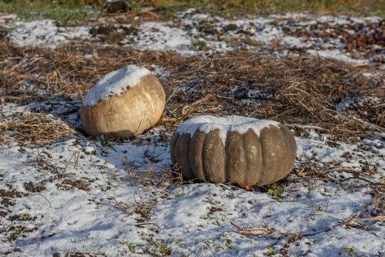 Forgotten frozen pumpkins in a snow-covered garden