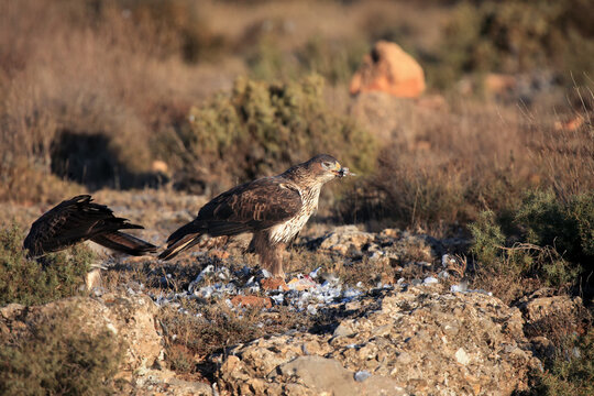 The Bonelli's eagle (Aquila fasciata) on a rock with prey. A pair of hawk eagles on a rock in the Spanish mountains.