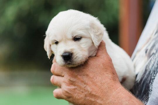 Golden retriever puppy in mans hands