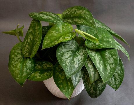 leaves in a pot, Scindapsus Pictus Exotica