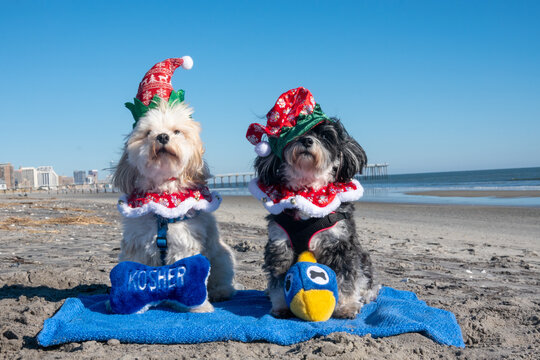 Two adorable Havanese puppies posing in Christmas outfits and hannukah toys on a blue towel on the beach at the edge of the ocean