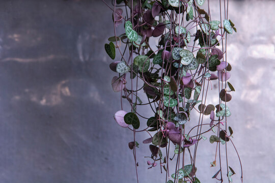 String of Hearts, Rosary Vine, Chain of Hearts, Hearts-on-a-string, sweetheart vine (Ceropegia woodii, Ceropegia linearis ssp. woodii)