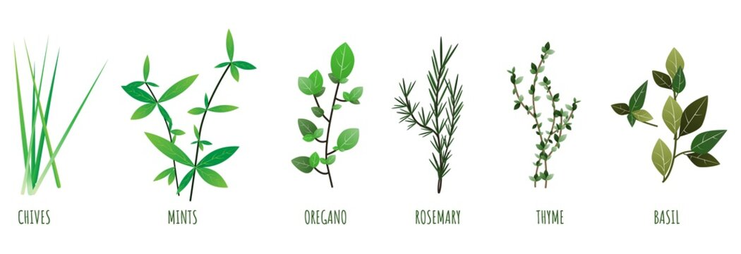 Herbs illustration of chives, mints, oregano, basil, thyme, rosemary. vector. Set of different natural cooking herbs.