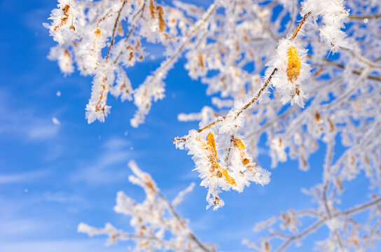 Frozen Leaves and Twigs - Frozen leaves and twigs of a linden tree in winter before a blue sky.