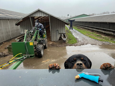 Tyson, a Rottweiler breed of dog, peers over a fence as worker Jan Loested cleans out a shed that formerly housed mink at the Semper Avanti mink farm during the outbreak of the coronavirus disease (COVID-19) in Moldrup, Denmark