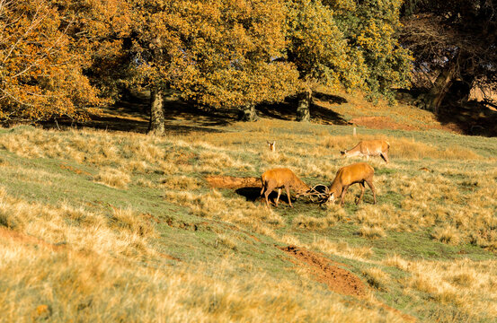 Male stags locking horns during the rutting season at Tatton Park, Knutsford, Cheshire, UK