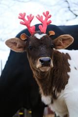 Wall Mural - Reindeer calf close up during farm Christmas.