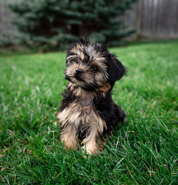 Close up of a cute teacup morkie puppy outside on the grass.