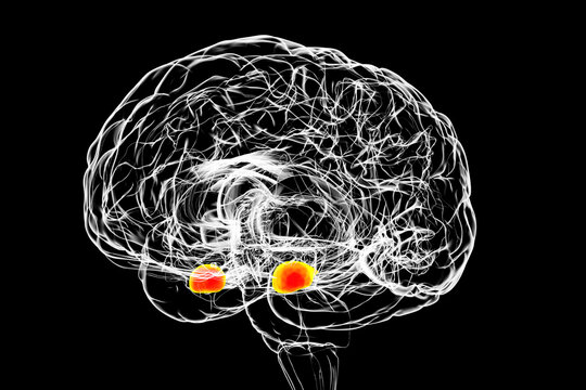 Amygdala, also known as corpus amygdaloideum, in the human brain