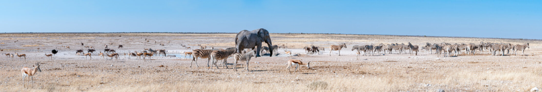 Panorama of african elephant drinking water at the Nebrownii waterhole