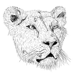 Sketch silhouette lionesses face on white background illustration