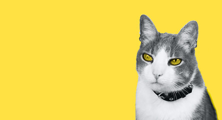 Close-Up Portrait Of Ultimate Gray white Cat with Illuminating Yellow eyes Against Yellow Background. Space for text. Banner Color of the year 2021