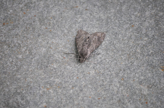 moth insect animal