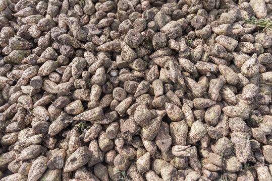Full frame of freshly harvested mature sugar beets (root crops) stacked on a farm field