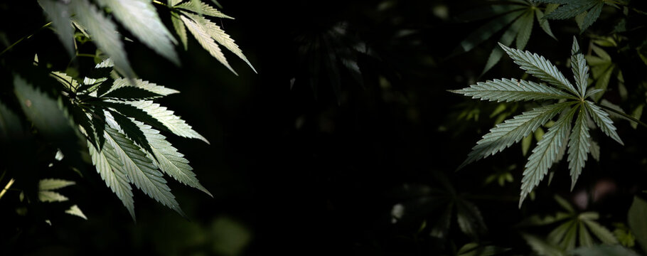 Gorgeous panorama of cannabis blooming in the southern region.Openwork hemp branches in the sun.In the backlight, an attractive, popular plant.