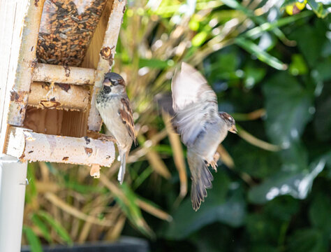 Zwei Spatzen am Vogelhaus Flug