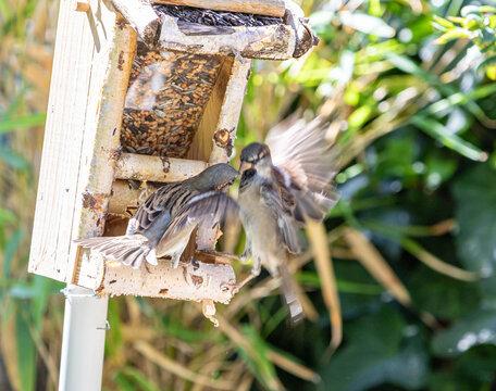 Spatzen Streit im Vogelhaus