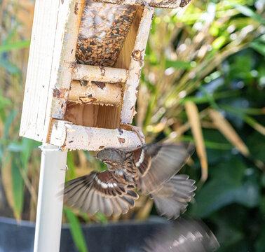 Spatz Flug zum Vogelhaus