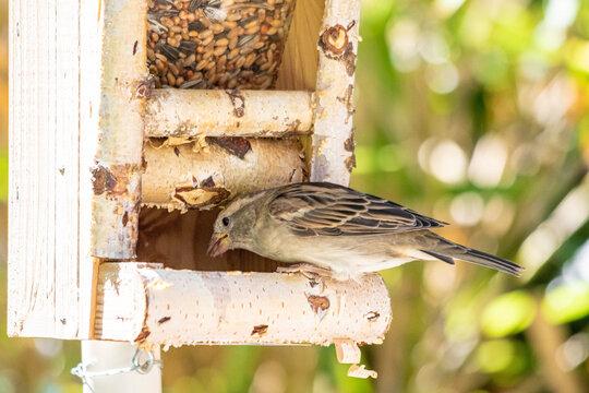 Spatz-Weibchen im Vogelhaus fressend
