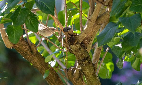 Spatzenweibchen im Baum neugierig