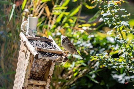 Spatz auf Vogelhaus zugewandt