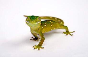 Grüner Baumgecko // Green Tree Gecko (Naultinus elegans)