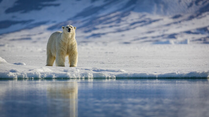 Image of polar bears in Svalbard