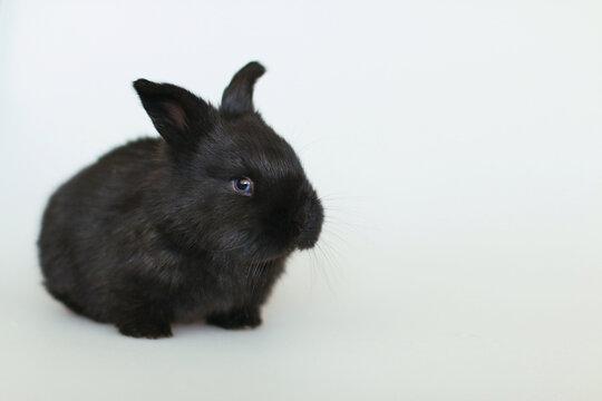Black small fluffy rabbit on white background