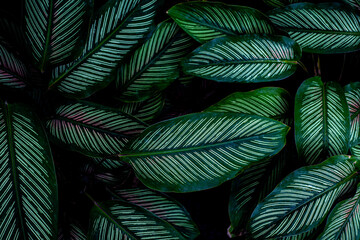 Wall Mural - closeup nature view of tropical leaves background, dark tone concept