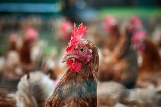 Legehenne  in der Freilandhaltung mit Mobilstall hinter einem Hühnernetz
