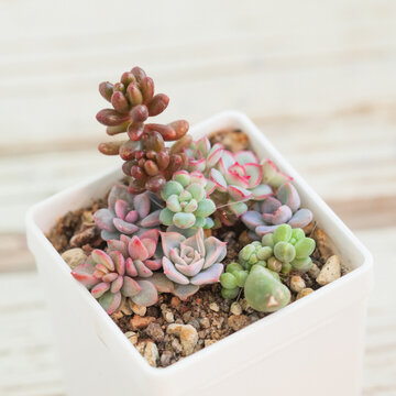 Beautiful little rare succulents on white blurred background