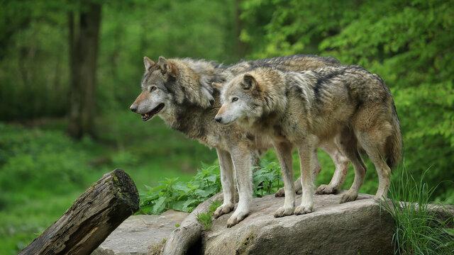 Couple de loups gris au printemps
