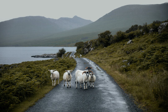 Sheep in the middle of the road