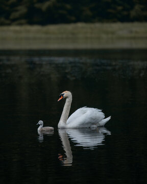 Swan and a cygnet by the loch