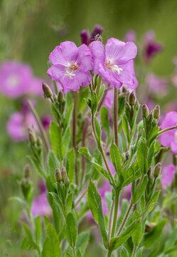 Small light purple flowers in field