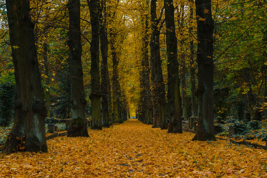 An avenue in a cemetery in autumn, autumn cemetery with many yellow leaves, Jewish cemetery in Berlin