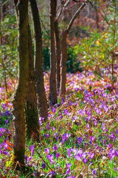 purple crocus bloom in the forest. beautiful nature scenery on a worm sunny day in springtime