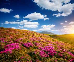 Wall Mural - Awesome summer scene with pink rhododendron flowers on a sunny day.