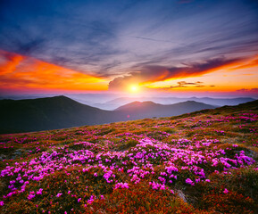 Wall Mural - Fantastic scene with flowering hills illuminated by the sunset.