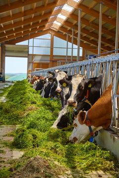 Cows feeding in the barn.
