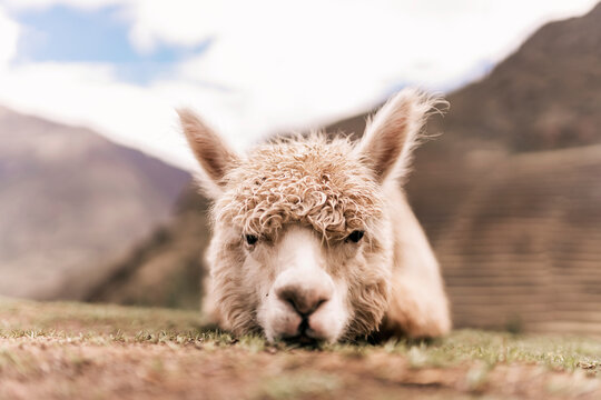 Llama looking at camera