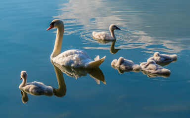 Swan female with cygnets on the lake, reflected in blue water