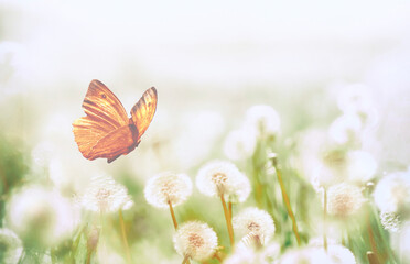 Spring background with light transparent flowers dandelion and flitting orange butterfly in pastel light tones macro with soft focus. Delicate airy elegant artistic image of nature,