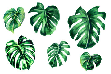 Set of Tropical leaves. Botanical watercolor illustrations. A collection of monstera leaves is isolated on a white background.Book illustrations, textiles, packaging, curtains, postcards, Wallpaper