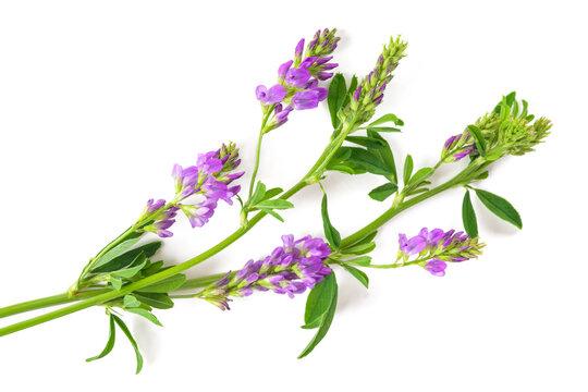 Medicago Sativa plant
