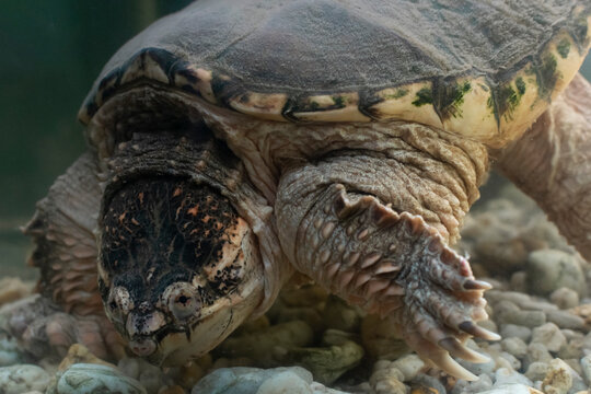 A close up of an Alligator Snapping Turtle underwater