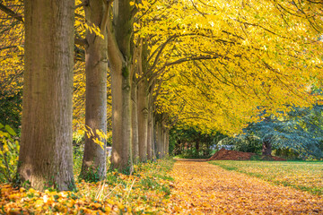 Trees covered with yellow leaves. Autumn in Cambridge. England