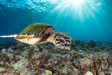 Hawksbill sea turtle swimming in the water above the coral reef