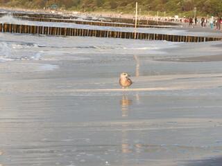 Mewa i morze, mokra plaża