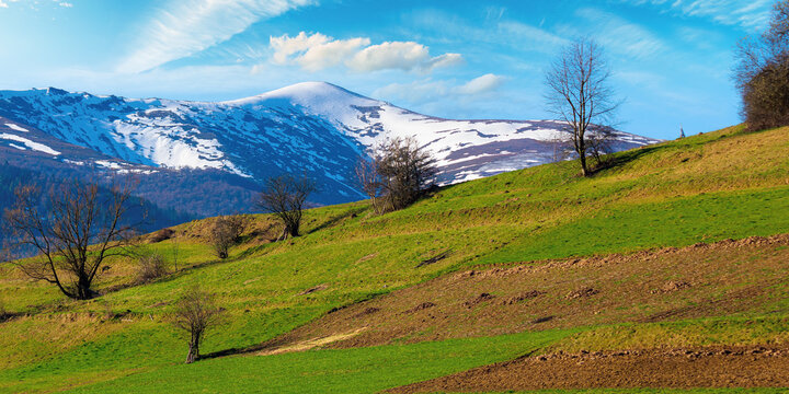 rural field on the hill in spring. snow capped mountain in the distance. beautiful carpathian landscape on a sunny day with fluffy clouds on the sky